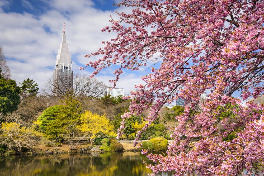 Ciliegi in fiore nel Parco Shinjuku Gyoen