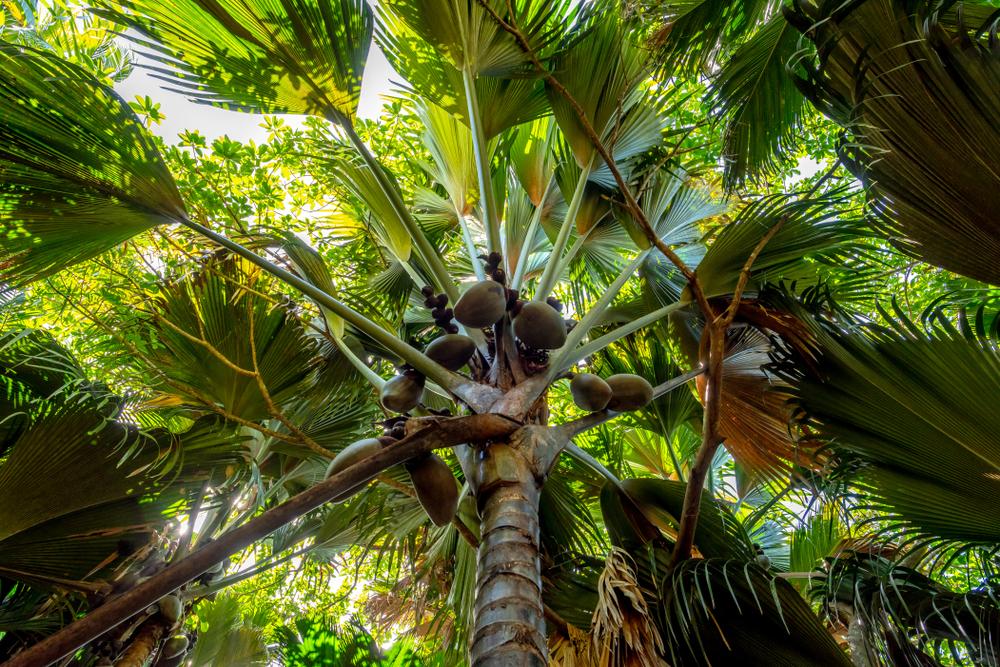 Vallée de Mai, Coco de Mer